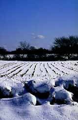 Snowy corn field