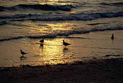 Horseneck sunset gulls